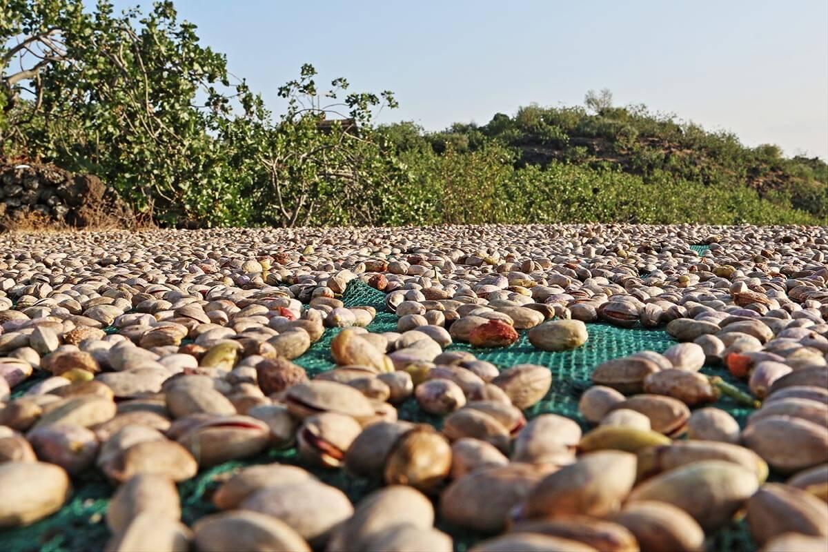 Essiccatura pistacchio